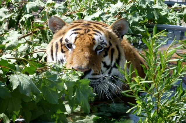 Tigerhof